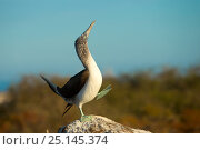 Blue-footed booby (Sula nebouxii) performing its courtship display, Galapagos Islands, April. Стоковое фото, фотограф Ben Hall / Nature Picture Library / Фотобанк Лори