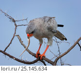 Купить «Pale chanting goshawk (Melierax canorus) eating snake prey in tree, Central Kalahari Game Reserve, Botswana», фото № 25145634, снято 21 марта 2019 г. (c) Nature Picture Library / Фотобанк Лори