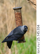 Купить «Jackdaw (Corvus monedula) perched on a bird feeder with a peanut in its beak, Gloucestershire, UK, April.», фото № 25145934, снято 27 марта 2020 г. (c) Nature Picture Library / Фотобанк Лори