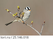 Купить «White-crowned sparrow (Zonotrichia leucophrys) in spring alder. Yukon Delta National Wildlife Refuge, Alaska, USA. May.», фото № 25146018, снято 22 мая 2019 г. (c) Nature Picture Library / Фотобанк Лори