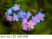 Купить «Alpine wood forget-me-not (Myosotis alpina) close-up of flowers, Vercors Regional Natural Park, France, June.», фото № 25146098, снято 17 августа 2018 г. (c) Nature Picture Library / Фотобанк Лори