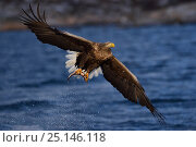 Купить «White tailed eagle / Erne (Haliaeetus albicilla) carrying Herring (Clupea harengus) prey in claws,  Flatanger, Nord-Trondelag, Norway, February.», фото № 25146118, снято 21 сентября 2018 г. (c) Nature Picture Library / Фотобанк Лори