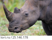 Купить «White rhinoceros (Ceratotherium simum) grazing, iMfolozi National Park, South Africa», фото № 25146178, снято 15 февраля 2019 г. (c) Nature Picture Library / Фотобанк Лори