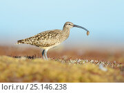 Купить «Bristle-thighed curlew (Numenius tahitiensis) on coastal tundra feeding on woolly bear caterpillar pupa. The curlew locates the cocoons by sight and shakes...», фото № 25146238, снято 27 марта 2019 г. (c) Nature Picture Library / Фотобанк Лори