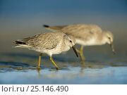 Red knot (Calidris canutus) in winter plumage foraging on the Altamaha Estuary. Glynn County, Georgia, USA. October. Стоковое фото, фотограф Gerrit Vyn / Nature Picture Library / Фотобанк Лори