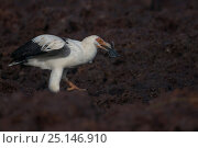 Palm-nut vulture (Gypohierax angolensis) feeding on baby Green turtle (Chelonia mydas) emerging from the nest, Bissagos Islands, Guinea Bissau. 3rd Place... Стоковое фото, фотограф Pedro Narra / Nature Picture Library / Фотобанк Лори