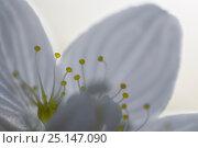 Купить «Grass-of-parnassus (Parnassia palustris) close up of flower, Peak District National Park, Derbyshire, UK. September.», фото № 25147090, снято 17 декабря 2017 г. (c) Nature Picture Library / Фотобанк Лори