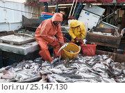 Купить «Sorting catch of Haddock (Melanogrammus aeglefinus)  Dogfish (Squalidae) and Pollock (Pollachius)  on deck of offshore trawler.  Georges Bank, Massachusetts...», фото № 25147130, снято 27 марта 2019 г. (c) Nature Picture Library / Фотобанк Лори