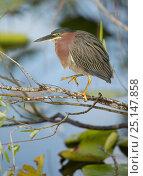 Купить «Green heron (Butorides virescens) in tree, Florida, USA, February.», фото № 25147858, снято 17 июня 2019 г. (c) Nature Picture Library / Фотобанк Лори