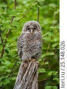 Купить «Ural owl (Strix uralensis) fledgling perched on tree stump in woodland, Bavarian Forest National Park, Germany, May. Captive.», фото № 25148026, снято 21 ноября 2018 г. (c) Nature Picture Library / Фотобанк Лори
