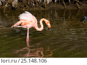 Купить «Greater flamingo (Phoenicopterus ruber) inside a saline lagoon, Moreno Point, Isabela Island, Galapagos Islands, East Pacific Ocean», фото № 25148106, снято 22 мая 2019 г. (c) Nature Picture Library / Фотобанк Лори