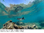 Купить «Galapagos penguin (Spheniscus mendiculus) underwater, Bartholome Island, Galapagos Islands, East Pacific Ocean», фото № 25148142, снято 23 мая 2019 г. (c) Nature Picture Library / Фотобанк Лори