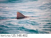 Купить «Dorsal fin of Tiger shark (Galeocerdo cuvier) swimming at the surface, Northern Bahamas, Caribbean Sea, Atlantic Ocean», фото № 25148402, снято 26 апреля 2019 г. (c) Nature Picture Library / Фотобанк Лори