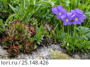 Купить «Common houseleek (Sempervivum tectorum) and Long-spurred violet (Viola calcarata) in flower, Val Veny, Italian Alps, Italy, June», фото № 25148426, снято 19 января 2018 г. (c) Nature Picture Library / Фотобанк Лори