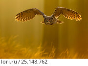 Купить «Eagle owl (Bubo bubo) in flight through forest, backlit at dawn, Czech Republic, November. Captive.», фото № 25148762, снято 24 марта 2019 г. (c) Nature Picture Library / Фотобанк Лори