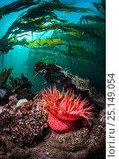 Купить «Strawberry anemone (Utricina lofotensis) grows beneath Bull kelp forest (Nereocystis luetkeana). Browning Pass, Port Hardy, Vancouver Island, British Columbia. Canada. North East Pacific Ocean.», фото № 25149054, снято 18 сентября 2018 г. (c) Nature Picture Library / Фотобанк Лори