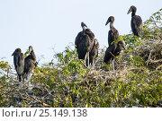 Купить «African opennbill (Anastomus lamelligerus) juvenile birds in rookery, Tana Mtsili island. Lake Tana Biosphere Reserve, Ethiopia.», фото № 25149138, снято 20 июня 2019 г. (c) Nature Picture Library / Фотобанк Лори