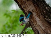 Купить «Woodland kingfisher (Halcyon senegalensis) flying from its nest hole in tree, Shingwedzi River, Kruger National Park, South Africa.», фото № 25149714, снято 20 июня 2019 г. (c) Nature Picture Library / Фотобанк Лори