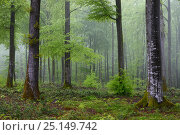 Купить «Beech (Betula) forest in spring, Vosges Mountain, France, April.», фото № 25149742, снято 19 февраля 2019 г. (c) Nature Picture Library / Фотобанк Лори