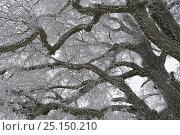 Купить «Frost on Elm (Ulmus) branches, Vosges, France, January.», фото № 25150210, снято 15 августа 2018 г. (c) Nature Picture Library / Фотобанк Лори