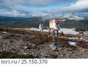 Купить «Herd of Reindeer (Rangifer tarandus) in landscape, Cairngorms National Park, Scotland, UK, February.», фото № 25150370, снято 16 августа 2018 г. (c) Nature Picture Library / Фотобанк Лори