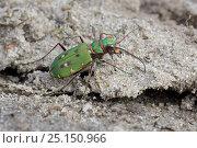 Green tiger beetle (Cicindela campestris) Klein Schietveld, Brasschaat, Belgium, April. Стоковое фото, фотограф Bernard Castelein / Nature Picture Library / Фотобанк Лори