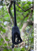 Купить «Chamec spider monkey (Ateles chamek) hanging upside down by tail, Ikamaperou Sanctuary, Amazon, Peru.», фото № 25151302, снято 13 февраля 2020 г. (c) Nature Picture Library / Фотобанк Лори