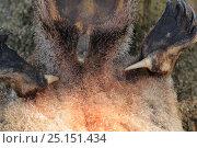 Купить «Platypus (Ornithorhynchus anatinus) spurs and cloaca,  from dead specimen,  Tasmania, Australia», фото № 25151434, снято 20 июня 2019 г. (c) Nature Picture Library / Фотобанк Лори