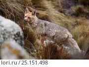 Andean fox (Pseudalopex culpaeus)  Cordillera Blanca Massif, Andes, Peru, November. Стоковое фото, фотограф Cyril Ruoso / Nature Picture Library / Фотобанк Лори