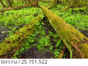 Moss covered tree trunks, and fallen trees in old mixed conifer and broadleaf forest, Punia Forest Reserve, Lithuania, May., фото № 25151522, снято 26 марта 2017 г. (c) Nature Picture Library / Фотобанк Лори