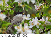 Купить «Marsh tit (Poecile palustris) perched in apple blossom with prey, Musteika Village, Lithuania, May.», фото № 25154002, снято 23 января 2019 г. (c) Nature Picture Library / Фотобанк Лори