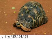 Radiated tortoise (Geochelone radiata) Berenty Reserve, Madagascar. Стоковое фото, фотограф Cyril Ruoso / Nature Picture Library / Фотобанк Лори