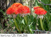 Купить «Fireball lily (Scadoxus multiflorus) flower. Masai Mara, Kenya, Africa, August 2012.», фото № 25154266, снято 16 сентября 2019 г. (c) Nature Picture Library / Фотобанк Лори