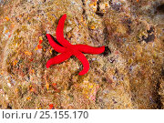 Купить «Red starfish (Ophidiaster ophidianus) Blue Grotto /  Gruta Azul dive site, eastern coast of Santa Maria Island, Azores, Portugal, Atlantic Ocean», фото № 25155170, снято 20 июля 2019 г. (c) Nature Picture Library / Фотобанк Лори