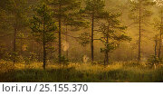 Купить «Mist and dew covered spider webs in golden sunrise light, in bog with Scots pine (Pinus sylvestris) Tartumaa, Estonia, July 2010.», фото № 25155370, снято 27 апреля 2018 г. (c) Nature Picture Library / Фотобанк Лори