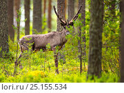 Купить «Finnish forest reindeer, (Rangifer tarandus fennicus) in forest,  Viiksimo, Kuhmo region, Finland. July. This rare species became nearly extinct in Finland, but are returning to Finland from Russia.», фото № 25155534, снято 24 августа 2019 г. (c) Nature Picture Library / Фотобанк Лори
