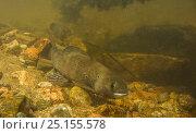 Купить «Arctic grayling (Thymallus arcticus) male going upstream during the annual spawning run. North Park, Colorado, USA, June.», фото № 25155578, снято 15 августа 2018 г. (c) Nature Picture Library / Фотобанк Лори