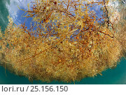 Common sargasso weed (Sargassum natans) from underwater, Sargasso Sea, Bermuda. Стоковое фото, фотограф Solvin Zankl / Nature Picture Library / Фотобанк Лори