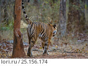 Купить «Bengal tiger (Panthera tigris tigris) female scent marking, Bandhavgarh, India.», фото № 25156174, снято 14 ноября 2019 г. (c) Nature Picture Library / Фотобанк Лори