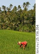 Купить «Woman working in rice fields. Bali, Indonesia. September 2007.», фото № 25156354, снято 25 сентября 2018 г. (c) Nature Picture Library / Фотобанк Лори