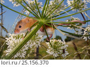 Купить «Harvest mouse (Micromys minutus) clinging to a Common hogweed (Heracleum sphondylium) flowerhead with its feet and tail after release, Moulton, Northampton, UK, June.», фото № 25156370, снято 25 марта 2019 г. (c) Nature Picture Library / Фотобанк Лори