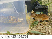 Купить «Microchipped Harvest mouse (Micromys minutus) entering a grain feeding station equipped with an automatic Radio Frequency Identification (RFID) monitor...», фото № 25156734, снято 25 марта 2019 г. (c) Nature Picture Library / Фотобанк Лори