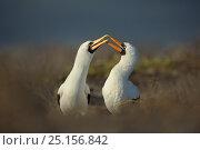 Купить «Nazca booby (Sula granti) courtship, Genovesa, Galapagos.», фото № 25156842, снято 15 июля 2020 г. (c) Nature Picture Library / Фотобанк Лори