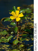 Купить «Floating primrose-willow (Ludwigia peploides) Breton Marsh, France, July. Invasive species.», фото № 25156854, снято 28 мая 2018 г. (c) Nature Picture Library / Фотобанк Лори