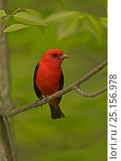 Scarlet tanager (Piranga olivacea), New York, USA, May. Стоковое фото, фотограф John Cancalosi / Nature Picture Library / Фотобанк Лори
