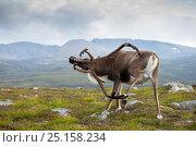 Купить «Reindeer (Rangifer tarandus) adult male, scratching antler (in velvet) with foot, Cairngorms, Scotland, UK, August.», фото № 25158234, снято 26 сентября 2018 г. (c) Nature Picture Library / Фотобанк Лори