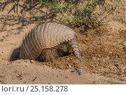 Купить «RF- Big hairy armadillo (Chaetophractus villosus) digging, La Pampa, Argentina.», фото № 25158278, снято 14 августа 2018 г. (c) Nature Picture Library / Фотобанк Лори