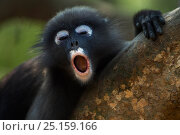 Dusky leaf monkey (Trachypithecus obscurus) juvenile yawning . Khao Sam Roi Yot National Park, Thailand. March 2015. Стоковое фото, фотограф Anup Shah / Nature Picture Library / Фотобанк Лори