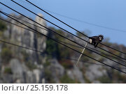 Dusky leaf monkey (Trachypithecus obscurus) walking along electric cables . Khao Sam Roi Yot National Park, Thailand. March 2015. Стоковое фото, фотограф Anup Shah / Nature Picture Library / Фотобанк Лори