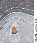 Купить «Ice pattern, North Fork Umqua River, Roseburg, Oregon, USA. January 2015.», фото № 25159526, снято 23 апреля 2019 г. (c) Nature Picture Library / Фотобанк Лори